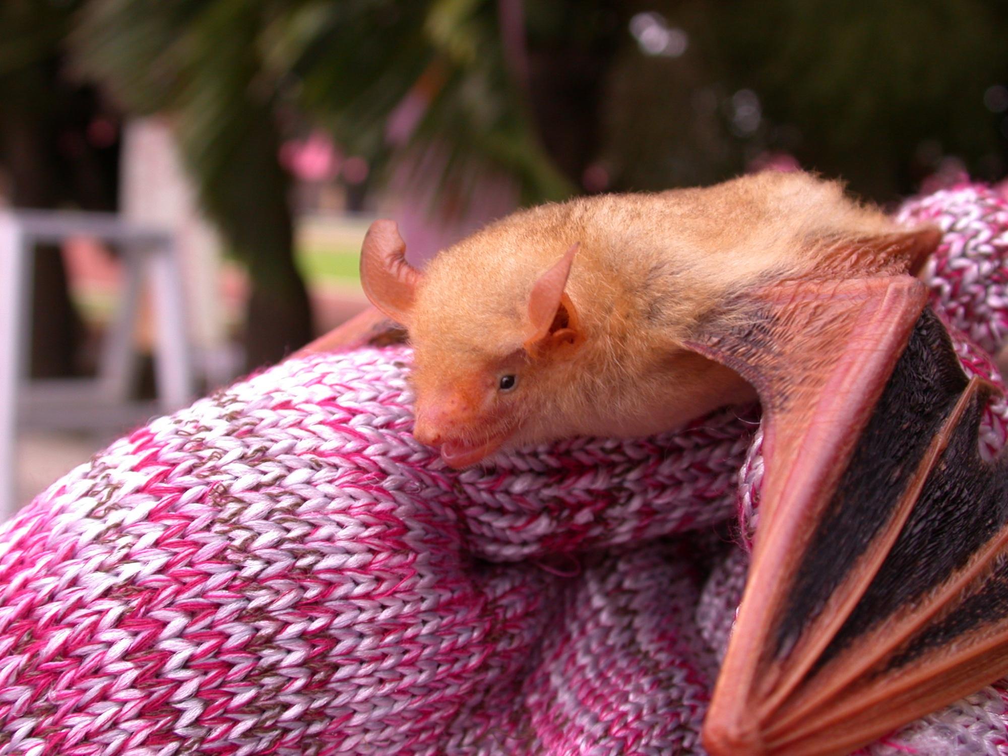 金黃鼠耳蝠被譽為台灣最漂亮的蝙蝠(張恒嘉攝)