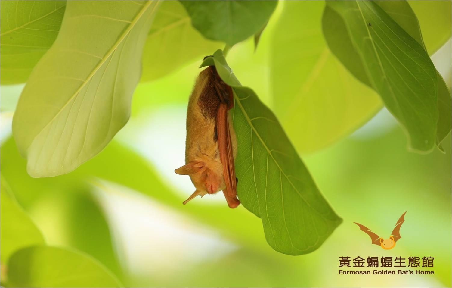 獨棲在孟加拉榕的金黃鼠耳蝠