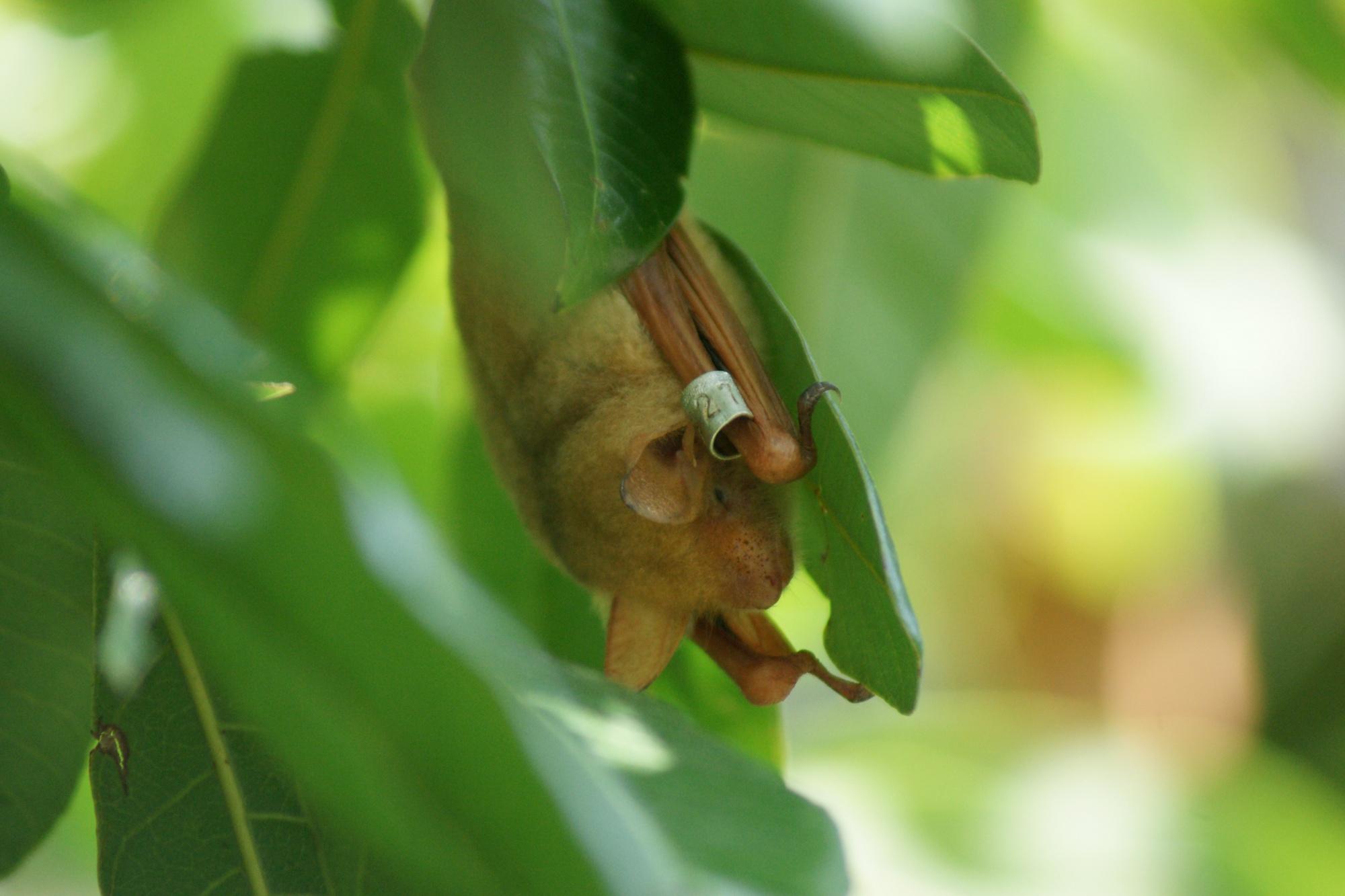 透過標放我們可以知道金黃鼠耳蝠是一種長壽的動物