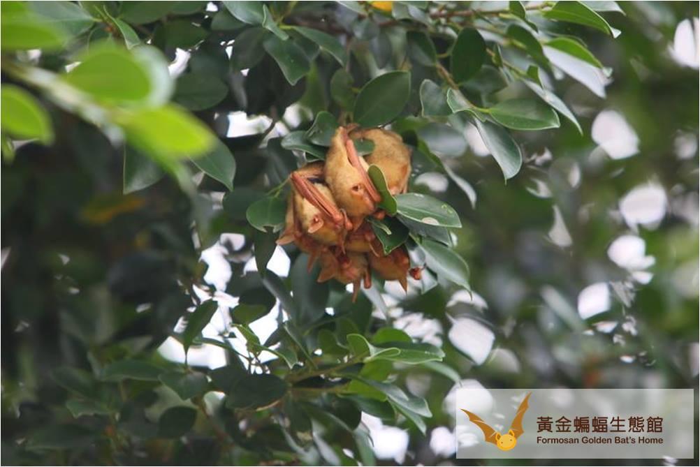棲息在榕樹葉叢的金黃鼠耳蝠