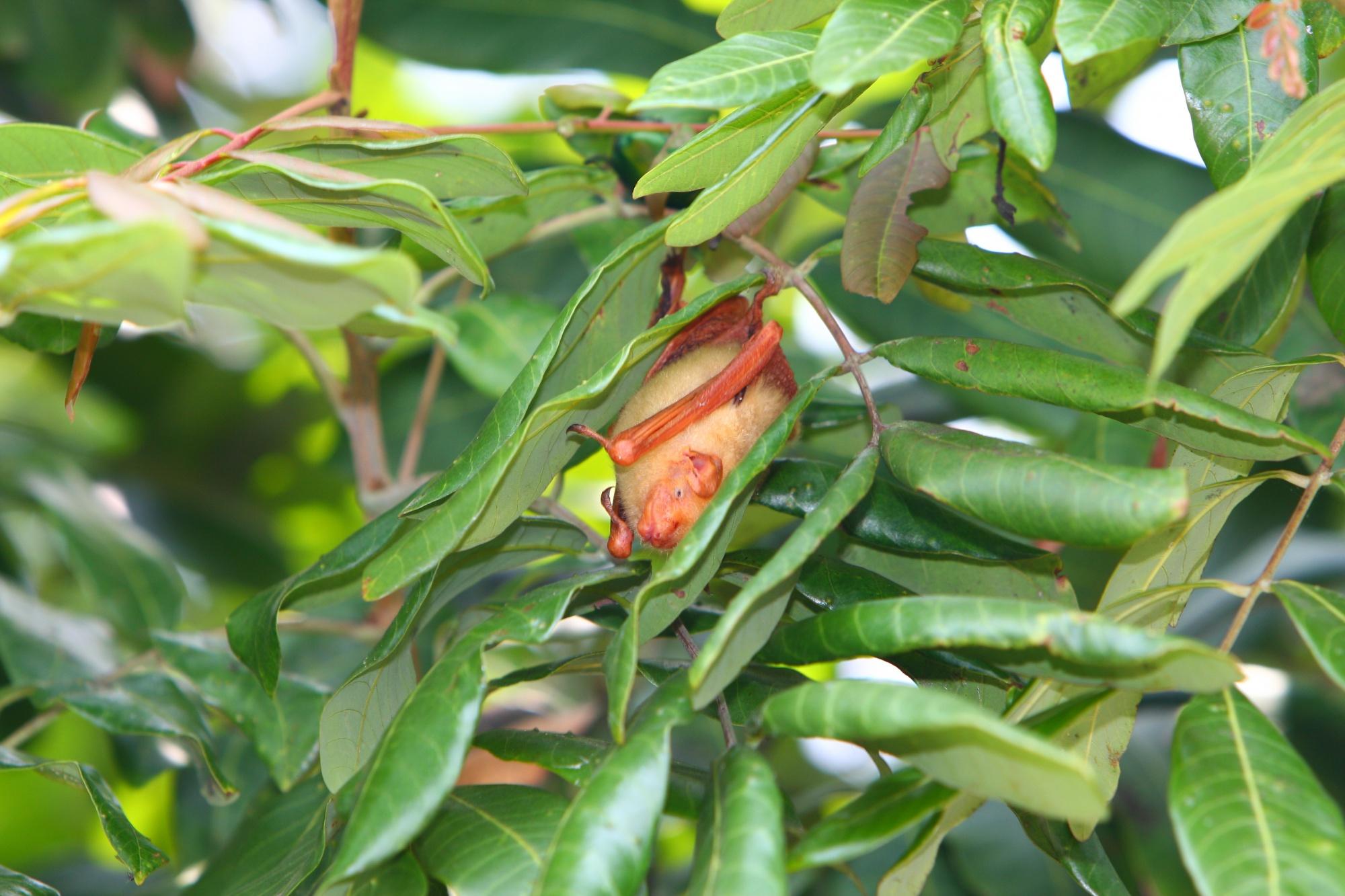 懷孕末期的金黃鼠耳蝠腹部腫脹似快破的氣球一般