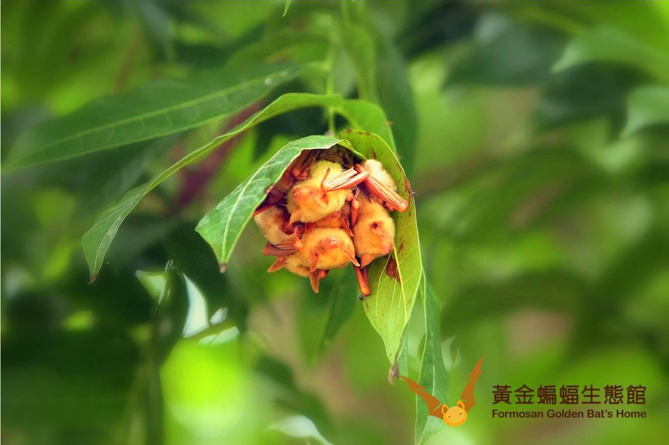 棲息在桃花心木的繁殖育幼群