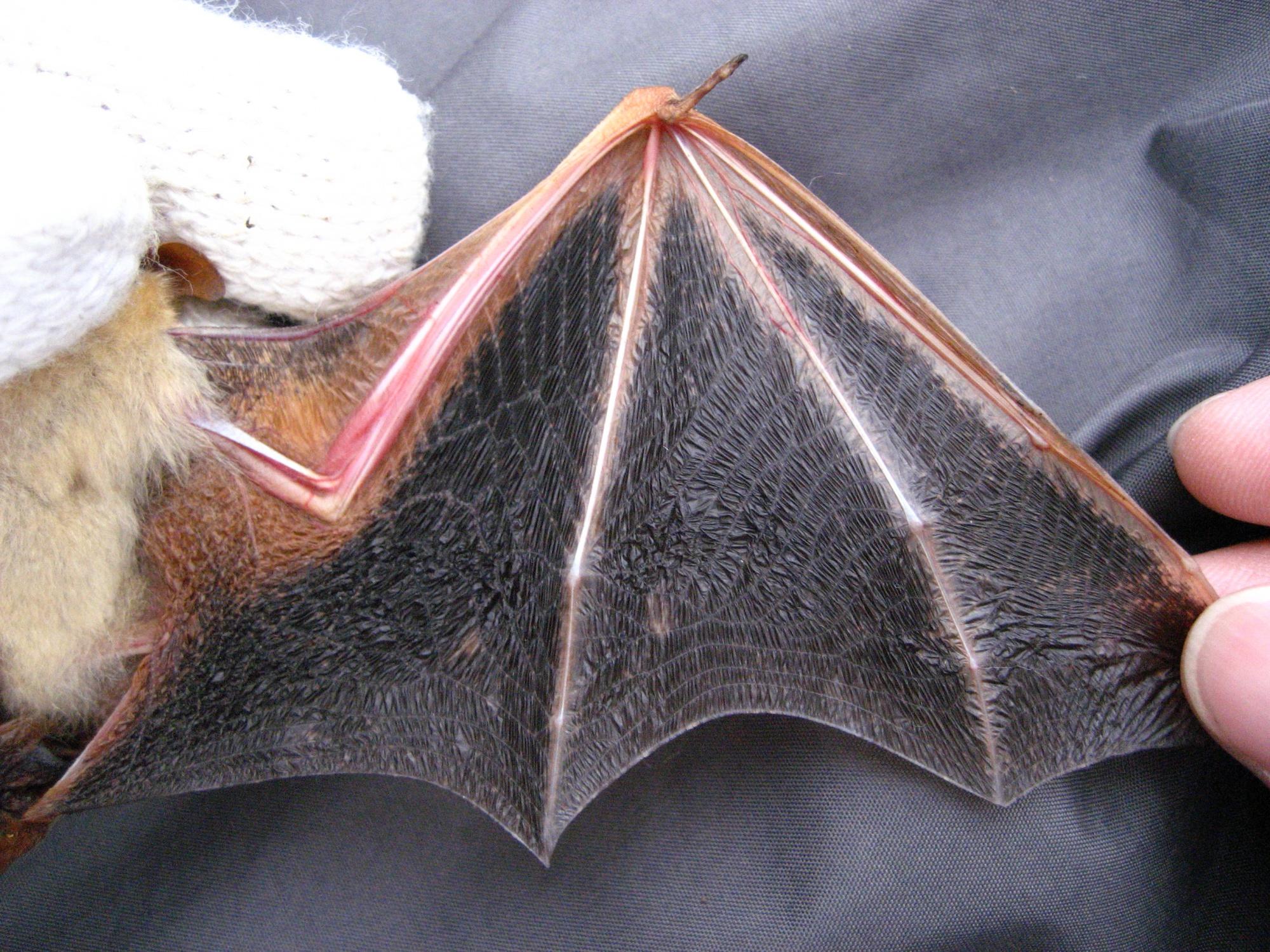4金黃鼠耳蝠翼膜雙色, 大拇指突出翼膜外(張恒嘉攝)