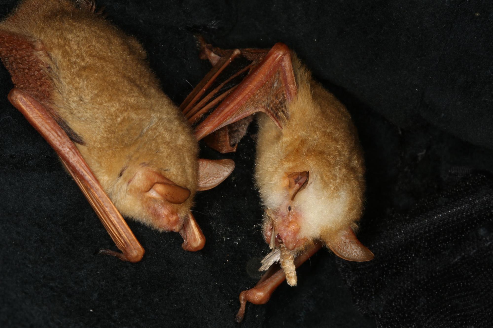 金黃鼠耳蝠很喜歡吃農業害蟲-斜紋夜盜蛾(張恒嘉攝)