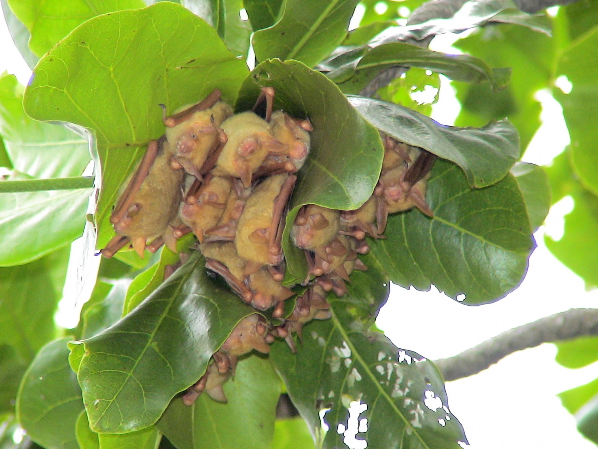 各地的金黃鼠耳蝠數量正在減少中,台灣目前已無發現百隻群集聚集處